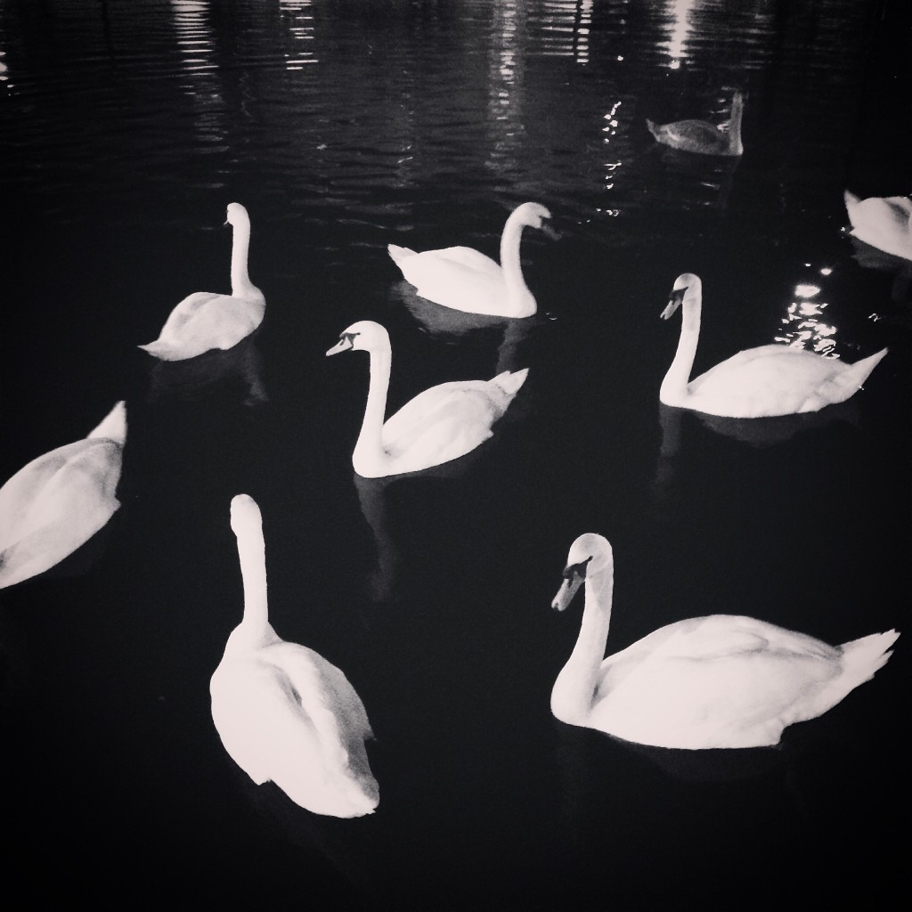 Canal Swans